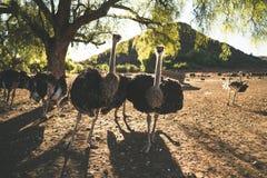 Struisvogels op een landbouwbedrijf Stock Foto's