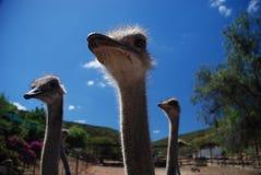 Struisvogels op een struisvogellandbouwbedrijf Stock Afbeeldingen