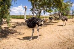 Struisvogels op het struisvogellandbouwbedrijf in Israël Stock Afbeeldingen