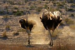 Struisvogels in stof Royalty-vrije Stock Foto
