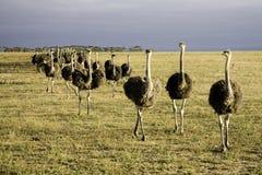 Struisvogels in Zuid-Afrika Stock Foto's