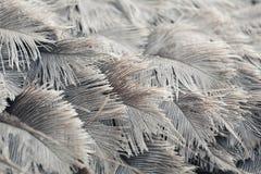 Struisvogelveren van grijze kleur Royalty-vrije Stock Foto