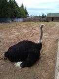 struisvogelzitting in het zand stock foto