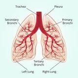 Struktur av lungorna Arkivfoto