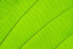 Struktur av naturlig bakgrund för blad Royaltyfri Foto