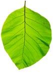 Struktur av naturlig bakgrund för blad Arkivfoto