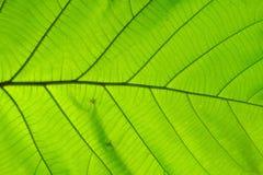 Struktur av naturlig bakgrund för blad Royaltyfria Foton