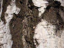 Struktur av torra träd och skäll av bosatta träd Bruna skuggor arkivbilder