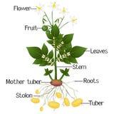 Struktur der Kartoffelpflanze auf einem weißen Hintergrund Stockfoto