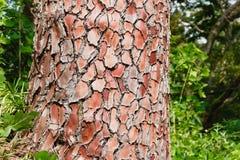 Struktur der Kieferbarke mit Grünpflanzehintergrund Beschaffenheit, Hintergrund lizenzfreie stockbilder