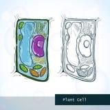 Struktur der Pflanzenzelle Stockfoto