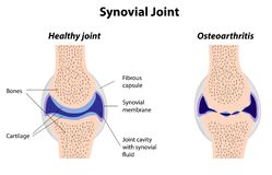 Struktur der Synovial Verbindung Stockbilder