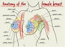 Struktur der weiblichen Brust lizenzfreie abbildung