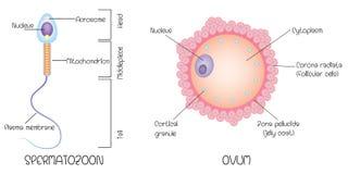 Struktur des Eies und der Samenzellen lizenzfreie abbildung