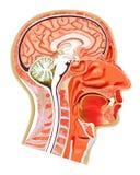 Struktur des menschlichen Kopfes lizenzfreie abbildung