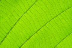 Struktur des natürlichen Hintergrundes des Blattes Lizenzfreies Stockfoto