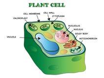 Struktur einer Pflanzenzelle Lizenzfreie Stockfotos