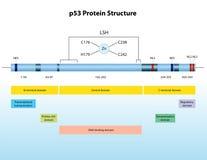 Struktur för protein P53 Royaltyfri Bild