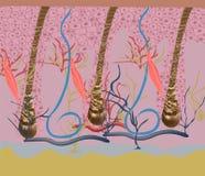 Struktur och cirkuleringar av hårtillväxt på ett mänskligt huvud under en mikroskopnärbild också vektor för coreldrawillustration vektor illustrationer