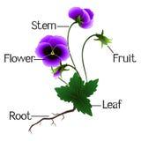 Struktura fiołków kwiaty Fotografia Royalty Free