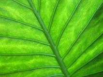 struktura liści, Obraz Royalty Free