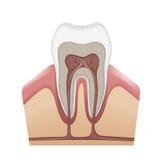 struktura ludzki ząb Zdjęcie Stock