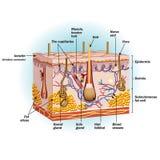 Struktura ludzkie komórki skóry ilustracja wektor