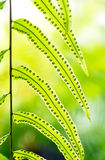 Struktura paprociowa roślina Obrazy Royalty Free