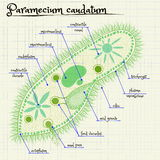 Struktura Paramecium saudatum Zdjęcia Royalty Free