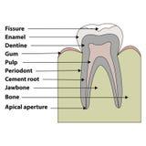 Struktura ząb ilustracja wektor