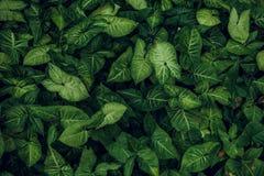 struktura zielonych liści Liść tekstury tło Fotografia Stock