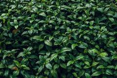 struktura zielonych liści Liść tekstury tło Obraz Royalty Free