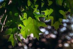 struktura zielonych liści Liść tekstury tło Obraz Stock