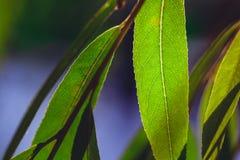 struktura zielonych liści Liść tekstury tło Obrazy Royalty Free