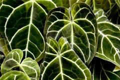 struktura zielonych liści Liść tekstury tło dla projekta Fotografia Royalty Free