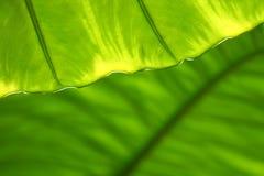 struktura zielonych liści Obrazy Stock