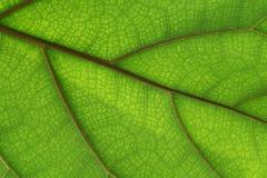 struktura zielonych liści Obraz Royalty Free