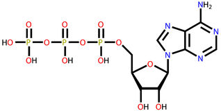 Strukturell formel för Adenosinetriphosphate (ATP) Royaltyfri Fotografi