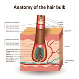 Strukturen av hårkulan i det arga hudlagret, anatomiskt medicinskt utbildningsbaner ocks? vektor f?r coreldrawillustration vektor illustrationer