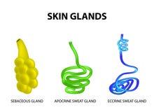 Strukturen av körtlarna av huden sebaceous Eccrine svett, Apocrine svett Uppsättning Infographics också vektor för coreldrawillus vektor illustrationer