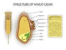 Strukturen av vete kärnar ur korn, vektorlager av endospermen, knoppen, pedicel, skalar den anatomiska affischen Baner för biolog arkivbilder