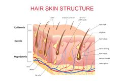 strukturen 3D av hårhuden skalperar, för informationsaffischen om anatomisk utbildning den infographic illustrationen för vektorn royaltyfri illustrationer