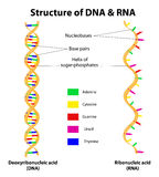Strukturera DNA- och RNAmolekylen. Vektor Arkivbilder