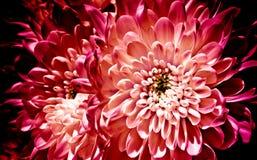 Strukturierte Blumen, Chrysanthemen Chrysanthemen auf einem dunklen backg Stockbild