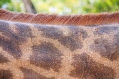 Strukturierte Haut der Giraffe Stockfotografie