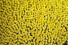 Strukturierte kleine Sonnenblumenblumen lizenzfreie stockfotografie