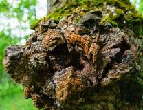 Strukturierter Knoten in der Barke eines Baums Nahaufnahme Stockfotografie