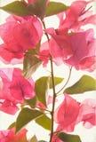 Strukturierter Kunsthintergrund des rosafarbenen Bouganvillas lizenzfreie stockfotos