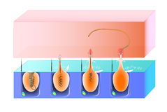 Struktury i akci cnidocyte Obrazy Royalty Free