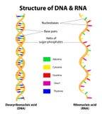 Struktury RNA i DNA molekuła. Wektor Obrazy Stock